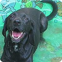 Adopt A Pet :: Stella-I'm in New England! - Brattleboro, VT