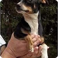 Adopt A Pet :: Tiny Tim - Allentown, PA