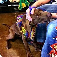 Adopt A Pet :: Rocky Choc lab pup - Scottsdale, AZ