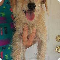 Adopt A Pet :: Blossom - Kingwood, TX