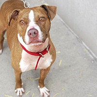 Adopt A Pet :: Macy - Detroit, MI