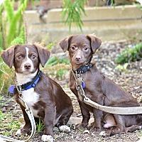 Adopt A Pet :: Sammy and Simon - Santa Monica, CA