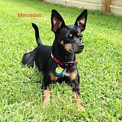 Photo 4 - Miniature Pinscher Dog for adoption in Nashville, Tennessee - Mercedes