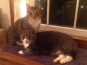 Domestic Shorthair Cat for adoption in Herndon, Virginia - Boots (& Tony)