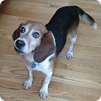 Adopt A Pet :: Scamper - Schaumburg, IL