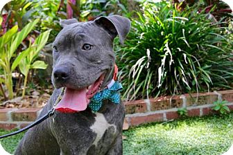 Pit Bull Terrier Mix Dog for adoption in Gainesville, Florida - Flora