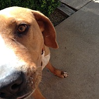 Hound (Unknown Type) Mix Dog for adoption in Ravenna, Texas - Red