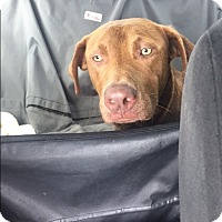 Labrador Retriever Mix Dog for adoption in Houston, Texas - Kevin