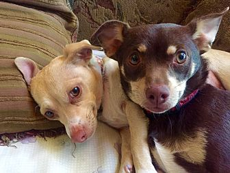 Chihuahua/Dachshund Mix Dog for adoption in Lake Arrowhead, California - Pearl