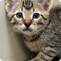 Domestic Shorthair Kitten for adoption in Downers Grove, Illinois - Larry