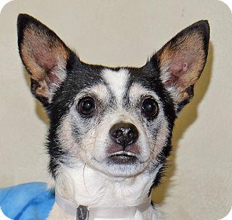 Chihuahua Mix Dog for adoption in Spokane, Washington - Scrappy