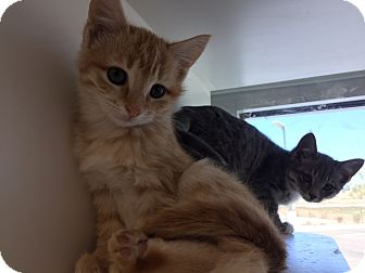 Domestic Shorthair Kitten for adoption in Edgewood, New Mexico - Sally