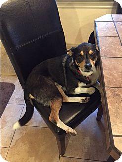 Rat Terrier Mix Dog for adoption in San Antonio, Texas - Champ
