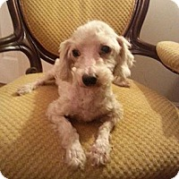 Poodle (Miniature) Dog for adoption in Edgewater, New Jersey - Skyler
