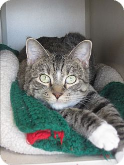 Domestic Shorthair Cat for adoption in Ridgway, Colorado - Special