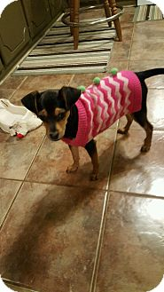 Feist Mix Puppy for adoption in Kittery, Maine - Feisty