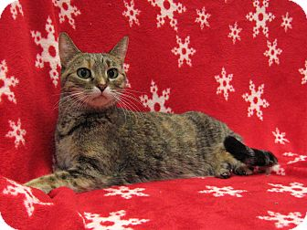 Domestic Shorthair Cat for adoption in Redwood Falls, Minnesota - Ivy