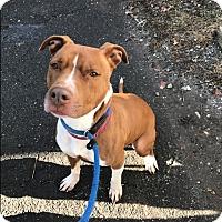 Adopt A Pet :: Charlie - Park Ridge, NJ