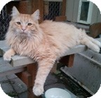 Domestic Mediumhair Cat for adoption in Anchorage, Alaska - Milo