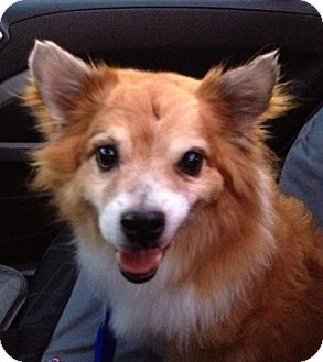 Corgi/Pomeranian Mix Dog for adoption in San Francisco, California - Bailey