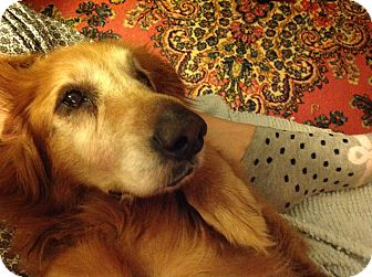 Golden Retriever Dog for adoption in New Canaan, Connecticut - Abigail