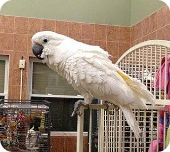 Cockatoo for adoption in Northbrook, Illinois - Lola