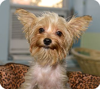 Yorkie, Yorkshire Terrier Puppy for adoption in New York, New York - Kimberly