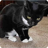Adopt A Pet :: Coco Puff  (NW) - Little Falls, NJ