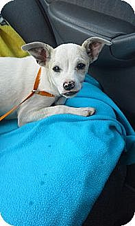 Terrier (Unknown Type, Medium)/Terrier (Unknown Type, Medium) Mix Dog for adoption in Fresno, California - Pinky