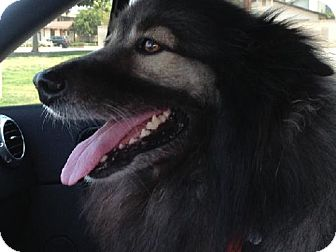 Keeshond Dog for adoption in Southern California, California - SCOOTER