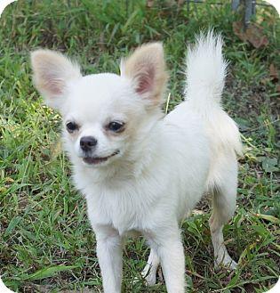 Overland Park Ks Chihuahua Meet Casper A Dog For Adoption