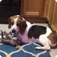 Adopt A Pet :: RUGER - Higley, AZ