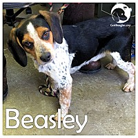 Adopt A Pet :: Beasley - Pittsburgh, PA