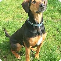 Adopt A Pet :: Tiffany, totally cool hound! - Snohomish, WA