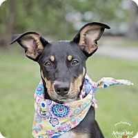 Doberman Pinscher Mix Dog for adoption in Kingwood, Texas - Heidi