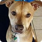 Adopt A Pet :: Brynn's Pup Brody