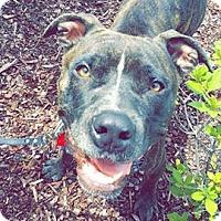 Mastiff Mix Dog for adoption in Abbeville, Louisiana - Kenny