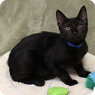 Domestic Shorthair Kitten for adoption in McCormick, South Carolina - Connor