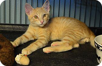 Domestic Shorthair Kitten for adoption in Tomball, Texas - Tuff