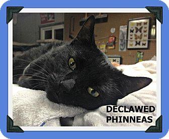Domestic Shorthair Cat for adoption in Fenton, Missouri - DECLAWED PHINNEAS