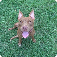 Pit Bull Terrier/Staffordshire Bull Terrier Mix Dog for adoption in Lorida, Florida - Rinnie