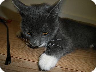 Domestic Shorthair Kitten for adoption in Milwaukee, Wisconsin - Satin