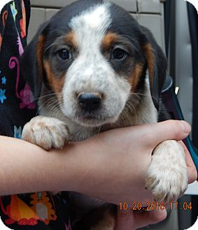 Beagle/English Shepherd Mix Puppy for adoption in Burlington, Vermont - Zorro (5 lb) Video!