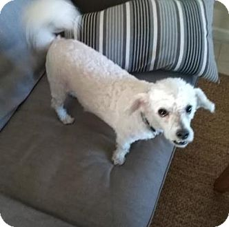 Poodle (Miniature) Mix Dog for adoption in Austin, Texas - Muffin