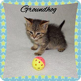 Domestic Shorthair Kitten for adoption in Buffalo, Indiana - Groundhog