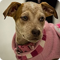 Adopt A Pet :: Kamila - Hillside, IL