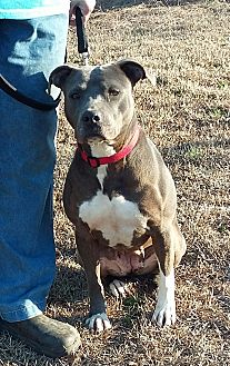 American Pit Bull Terrier Dog for adoption in Carthage, North Carolina - Daphney