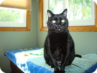 Domestic Shorthair Cat for adoption in Lombard, Illinois - Peyton
