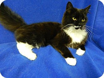 Maine Coon Cat for adoption in East Hanover, New Jersey - Ginny