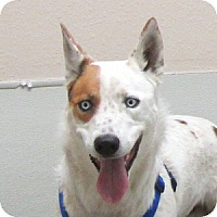 Adopt A Pet :: Java Blue - Gilbert, AZ